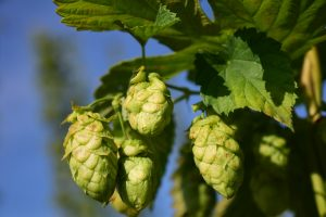 What is the role of the hop in the manufacture of beer ?